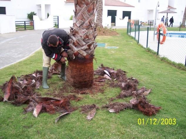 limpieza-palmeras
